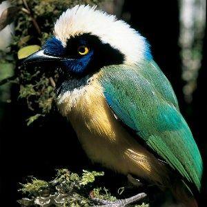 Oiseau Perou
