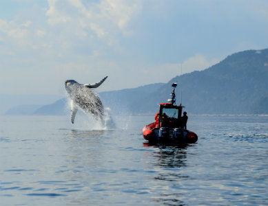 Observation des baleines sur le Saint Laurent, Canada