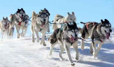 Chiens de traineau en Laponie