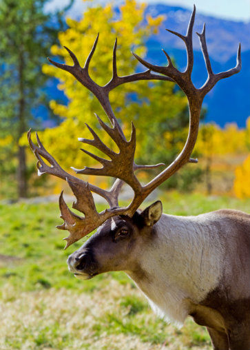 Caribou dans la province du Yukon, Canada